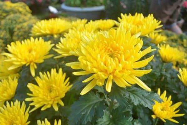 Hoa cúc cắm trưng ban thờ khi về nhà mới