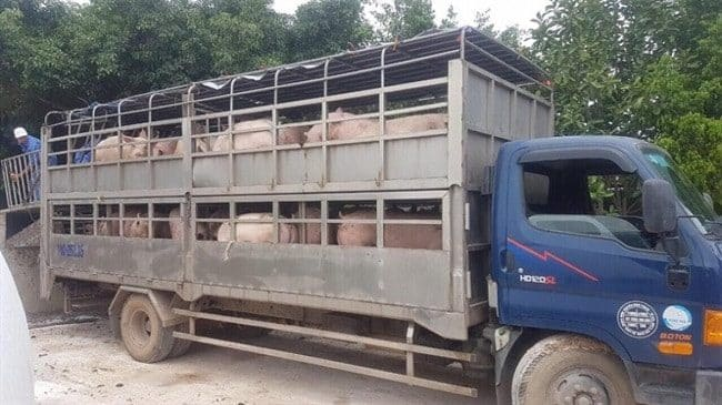 [Chia sẽ] Những quy định vận chuyển gia súc đi xa hợp pháp