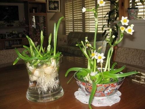 Cây hoa Thuỷ Tiên