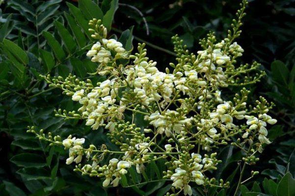 Cây hoa hòe