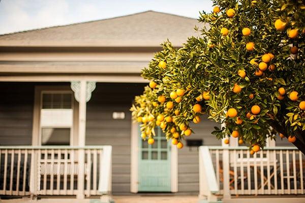 Cây cam trồng trước nhà